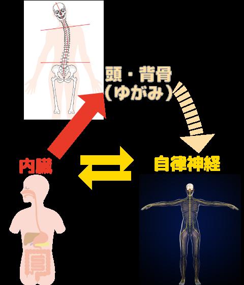 内臓・頭・背骨が自律神経に悪影響を及ぼす概念図