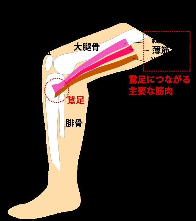 鵞足炎に関連する筋肉の付着部
