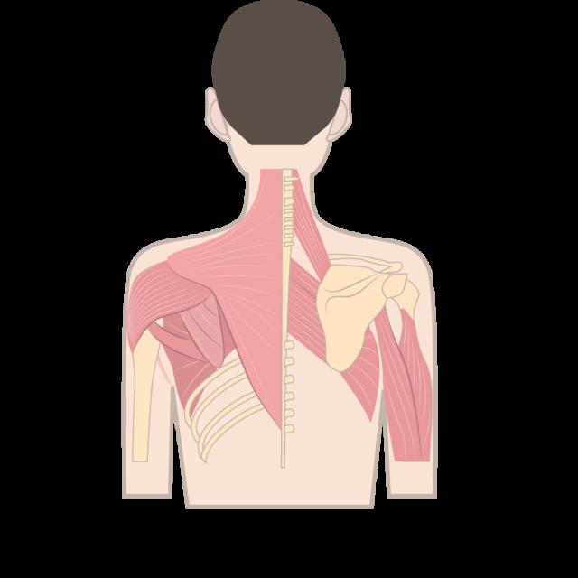 緊張型頭痛の原因となる筋肉の一例